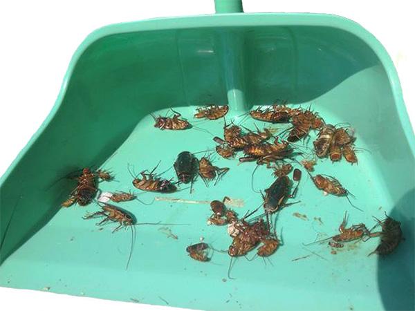 Antes de dejar entrar a las mascotas en el apartamento, es importante barrer todas las cucarachas muertas y hacer una limpieza en húmedo.