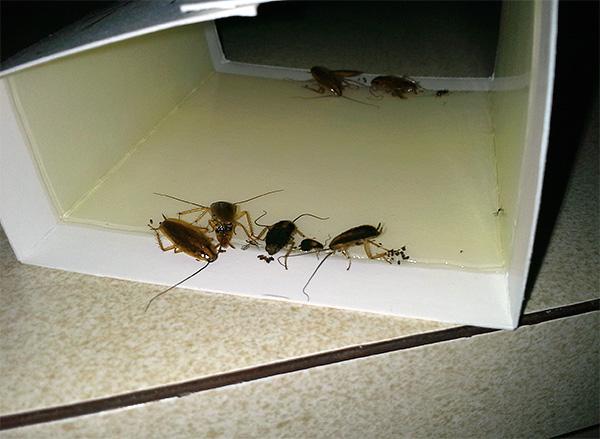 La foto muestra un ejemplo de una trampa de pegamento con cucarachas atascadas.