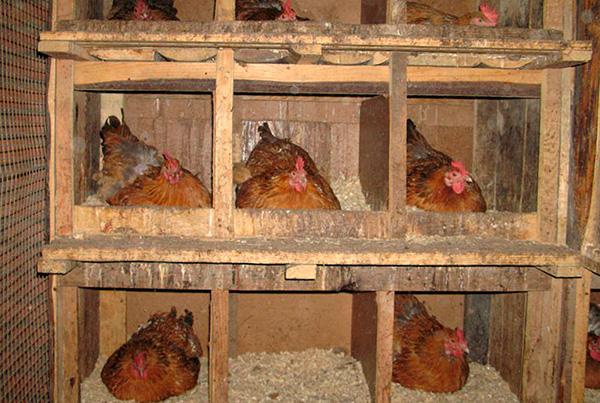 A menudo, los insectos se reproducen masivamente en gallineros.