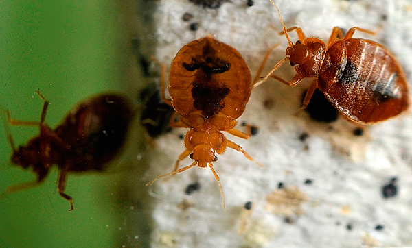 Intentemos descubrir mejor para envenenar a los insectos si aparecieran repentinamente en un apartamento o en una casa particular ...
