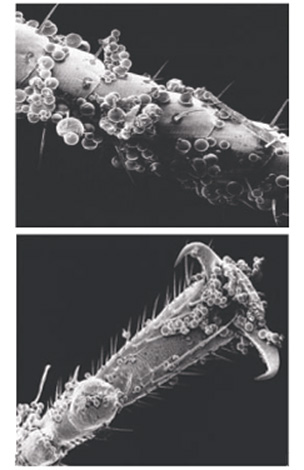 Las microcápsulas de los medios se adhieren bastante bien a las cubiertas quitinosas de los insectos ...