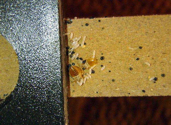 La imagen muestra claramente los huevos de las chinches en la pared de los muebles.