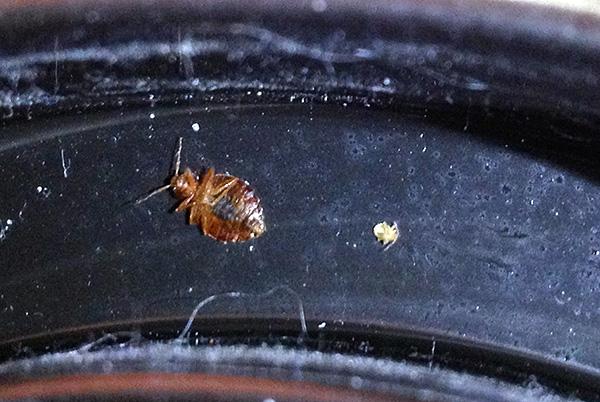 En presencia de superficies tratadas con un agente insecticida, los individuos aislados de insectos morirán incluso si entran en un apartamento, por ejemplo, de los vecinos.