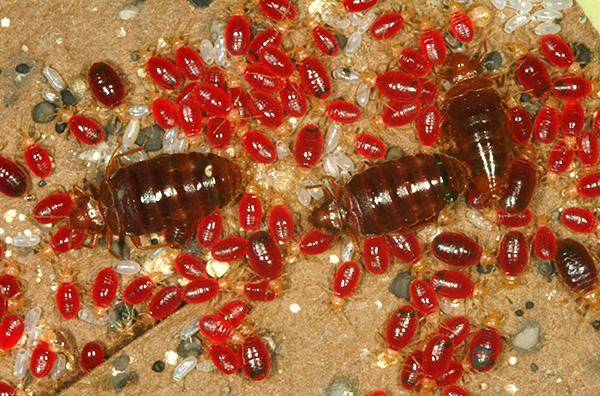 La foto muestra insectos, sangre borracha.