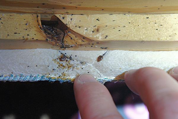 La foto muestra el nido de chinches en el sofá.