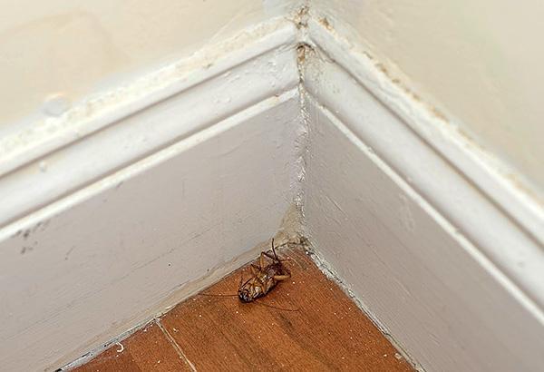 Las plagas individuales, que penetran, por ejemplo, de los vecinos, están condenadas a la muerte después del contacto con partículas de un lápiz insecticida.