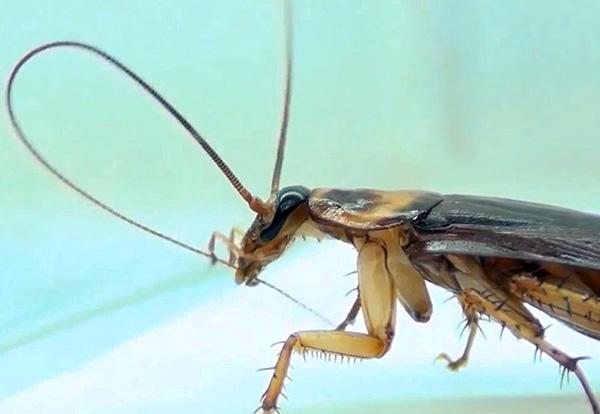 La foto muestra cómo la cucaracha limpia sus antenas: si hay partículas de veneno en ellas, seguramente las tragará.
