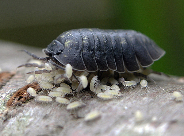 Larvas de Woodlouse
