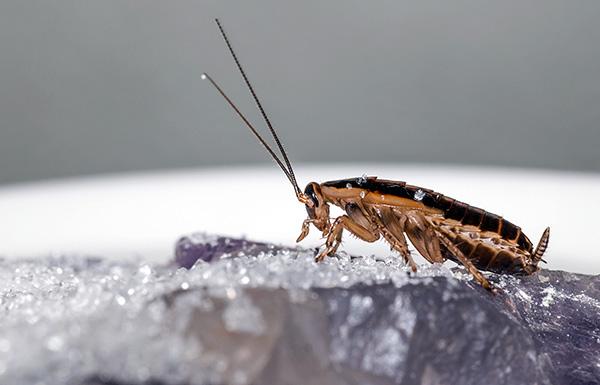 La mayoría de los polvos insecticidas modernos matan a las cucarachas debido al doble efecto de la intoxicación: el contacto y el intestino.