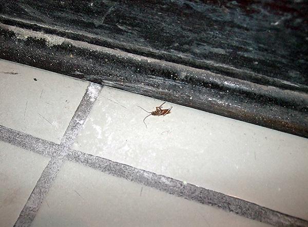 Cuanto más tiempo no se elimine el agente insecticida de los sitios de tratamiento, mayor será la probabilidad de que todas las cucarachas lo contacten.