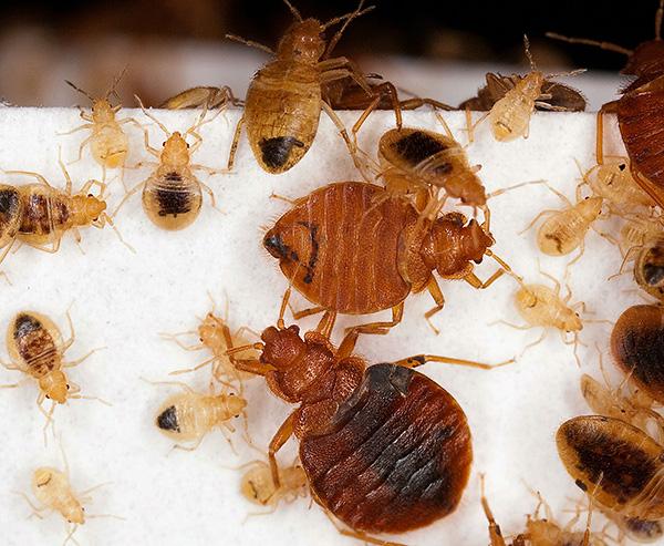 Las larvas y las chinches adultas