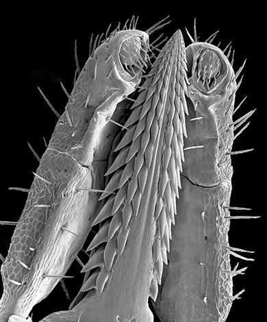 La aparición de la garrapata probóscide bajo un microscopio.