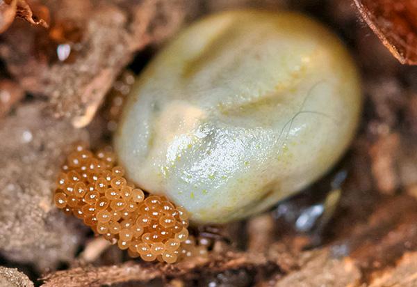 El ácaro hembra cosquilleado de sangre pone huevos de la hojarasca.