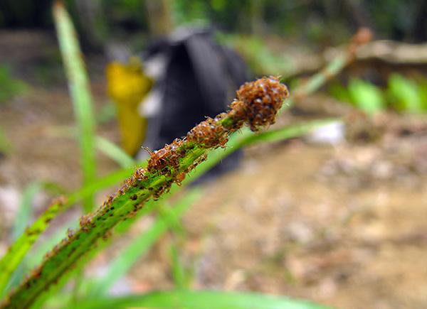 La foto muestra una gran cantidad de larvas de garrapatas recién nacidas.
