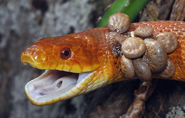 Garrapatas en la serpiente.