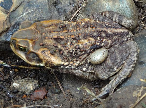 Ixodides puede parasitar también en sapos y ranas.
